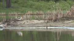 Avocet Lone Summer Sandbar Stock Footage