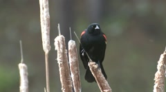 Red-winged Blackbird Male Adult Summer Stock Footage