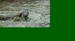Dipper Lone Feeding Spring Slow Motion Stock Footage