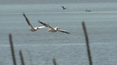 White Pelican Several Flying Spring Slow Motion Stock Footage