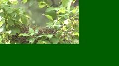 Black-headed Grosbeak Male Nesting Summer Slow Motion Stock Footage