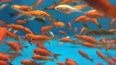 Large group of gold fish in aquarium - stock footage