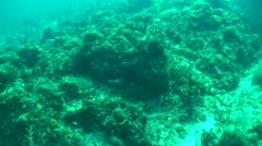 Caribbean Spiny Lobster Lone Summer Underwater Stock Footage