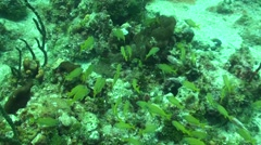 French Grunt School Summer Underwater Stock Footage