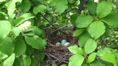 Black-headed Grosbeak Male Adult Lone Nesting Summer Eggs Stock Footage