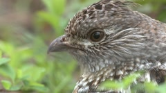 Ruffed Grouse Cock Adult Lone Summer Dawn Closeup Stock Footage