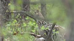Ruffed Grouse Cock Adult Lone Feeding Summer Dawn Stock Footage