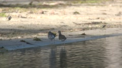 Spotted Sandpiper Adult Pair Fighting Summer Beach Shore Stock Footage