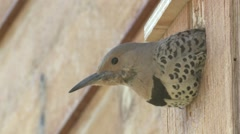 Northern Flicker Adult Lone Nesting Summer Bird House Birdhouse - stock footage