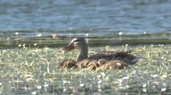 Mallard Hen Adult Chicks Family Feeding Summer Stock Footage