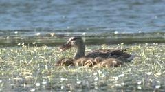 Mallard Hen Adult Chicks Family Feeding Summer Stock Footage