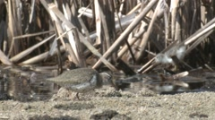 Spotted Sandpiper Adult Chicks Feeding Summer Stock Footage