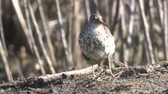 Spotted Sandpiper Adult Lone Grooming Summer Zoom Out Stock Footage