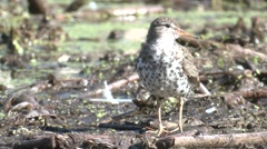 Spotted Sandpiper Adult Lone Alarmed Summer Stock Footage