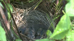 Song Sparrow Adult Chicks Family Nesting Summer Feeding Stock Footage