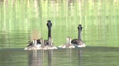 Canada Goose Adult Chicks Family Swimming Summer Goslings Stock Footage