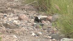 Striped Skunk Lone Walking Summer - stock footage