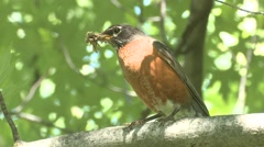 Robin Adult Feeding Summer Insects Stock Footage