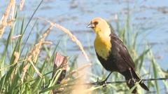 Yellow-headed Blackbird Lone Summer Stock Footage