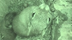 Red Squirrel Lone Summer Nest Cavity Infrared Stock Footage