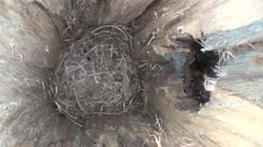 Fox Squirrel Lone Summer Nest Cavity Ringlight Stock Footage