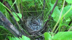 Song Sparrow Nesting Summer Stock Footage