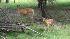 White-tailed Deer Adult Fawn Summer Stock Footage