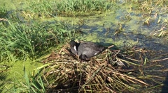 Coot Adult Nesting Summer Nest Eggs Stock Footage