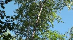 Flying Squirrel Lone Flying Summer Glide Handheld Stock Footage