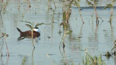 Ruddy Duck Drake Lone Summer - stock footage