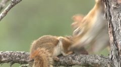 Red Squirrel Adult Young Family Grooming Summer Stock Footage