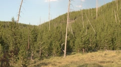 Forest Yellowstone National Park Summer Forest Fire 1988 Regrowth Snags Pan - stock footage