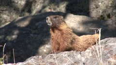 Yellow-bellied Marmot Summer Stock Footage
