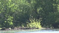 Cottonwood Summer Seed Dispersal Wind - stock footage