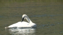 Trumpeter Swan Lone Bathing Summer Slow Motion Stock Footage