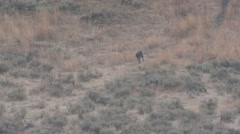 Wolf Adult Lone Urinating Fall Trail Black Scent Marking - stock footage