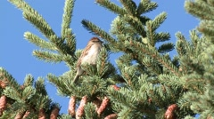 Chipping Sparrow Fall Stock Footage