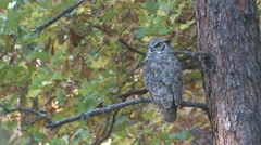 Great Horned Owl Lone Fall Foliage Stock Footage