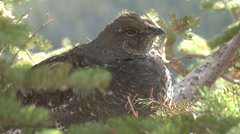 Blue Grouse Lone Resting Fall Dusky Closeup - stock footage