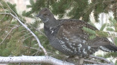 Blue Grouse Lone Fall Dusky Stock Footage
