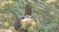 Chipmunk Feeding Fall Flower Closeup - stock footage
