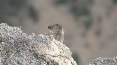 Pika Lone Calling Fall Stock Footage