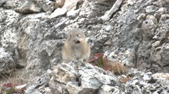 Pika Lone Feeding Fall Stock Footage