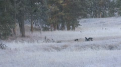 Coyote Lone Feeding Fall Bison Carcass Scavengers Stock Footage
