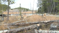 Beaver Fall Cut Trees Chewing Pan Stock Footage