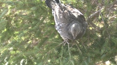Blue Grouse Lone Feeding Fall Dusky Slow Motion - stock footage