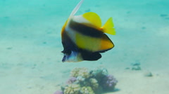 Banner-fish at the Red Sea coral reef - stock footage