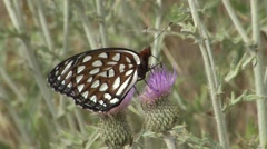Stock Video Footage of Regal Fritillary Feeding Summer