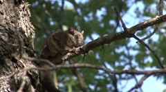 Flying Squirrel Lone Resting Fall Stock Footage