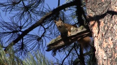 Red Squirrel Lone Calling Fall Stock Footage